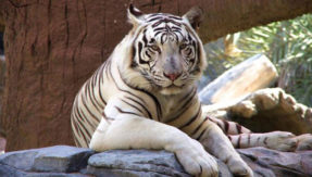 zoo caretaker are learning tamil language for a tiger