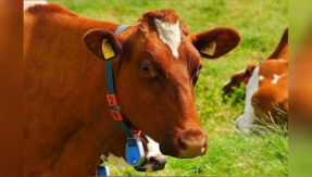 remove-80kg-of-polythene-from-cow's-stomach