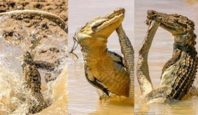 crocodile-and-snake-fight-----5