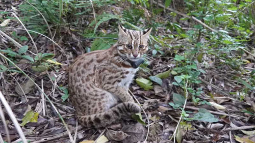endangered leopard cat revives by a policeman after hitting by car Taiwan