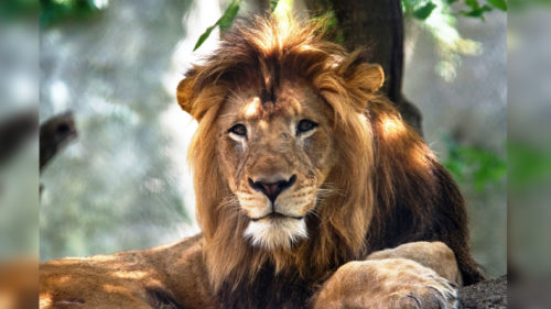 IndianaPolis Zoo lioness killed father lion of her 3 cubs